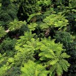 tree ferns from above