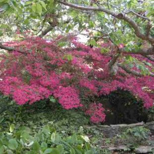 cherry and azalea intermingling