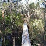 large eucalypt at killaloo after wind storm 7 20112
